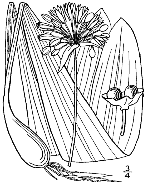 Allium_tricoccum_drawing