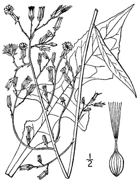 Lactuca_canadensis_BB-1913-1