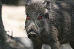 120px-Wild_Boar_frontal